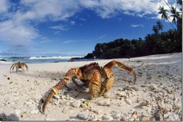 coconut_crab8