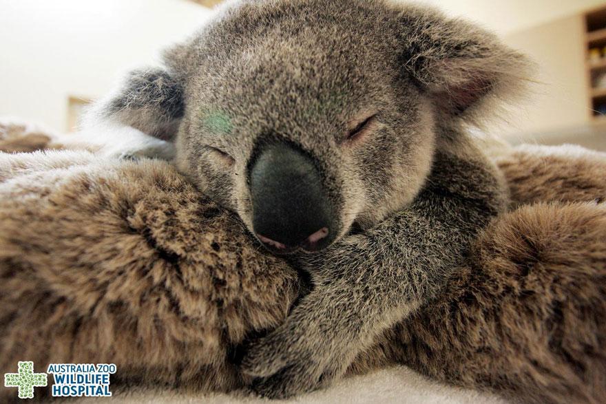 koala mama si fiul ei